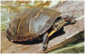 Turtles (Photo of Painted Turtle)