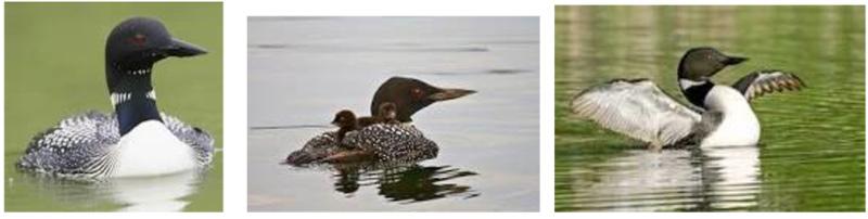 Common Loon Life History Big Whitefish Lake Association